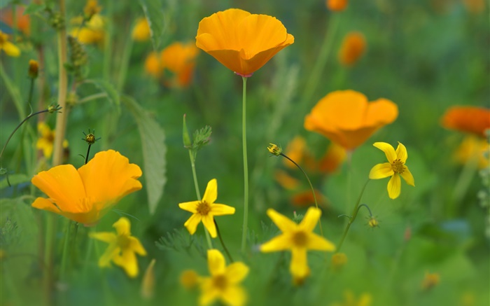 Poppy flowers, yellow wildflowers, grass Wallpapers Pictures Photos Images