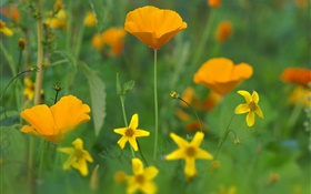 Poppy flowers, yellow wildflowers, grass