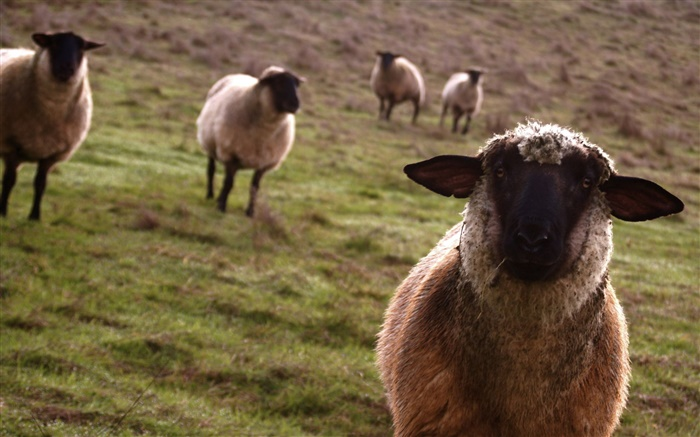 Sheep, meadow, animals close-up Wallpapers Pictures Photos Images