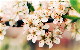 Spring flowers bloom, branches, bokeh HD wallpaper