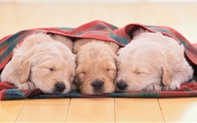 Three puppies sleeping HD wallpaper
