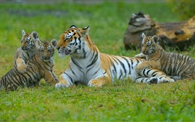 Tigers family, grass, big cats