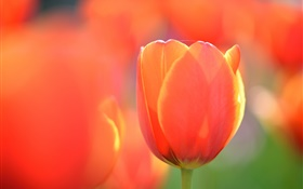 Tulip macro photography, orange flower HD wallpaper
