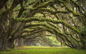 USA, South Carolina, Charleston, oak trees, alley, moss HD wallpaper