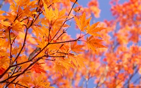 Branches, red maple leaves, autumn