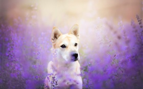 Dog front view, flowers field HD wallpaper