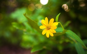 One yellow flower close-up, green bokeh HD wallpaper