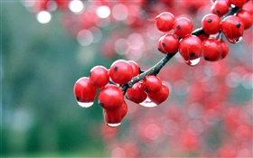 Red berries, twigs, dew HD wallpaper