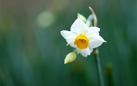 Single daffodil flower, white petals HD wallpaper