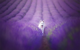 White dog in the lavender field HD wallpaper