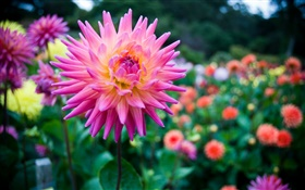 Beautiful dahlia, pink flower HD wallpaper