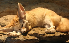 Cute fox sleep, rocks HD wallpaper