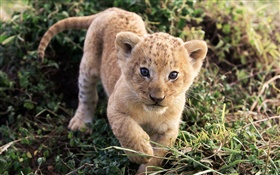 Cute little lion in grass HD wallpaper