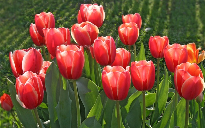 Garden flowers, red tulips Wallpapers Pictures Photos Images