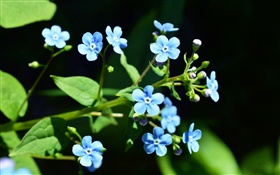 Small blue flowers, black background