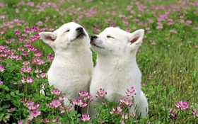 Two white puppies, flowers, grass HD wallpaper