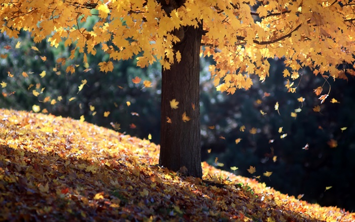 Autumn, single tree, yellow leaves Wallpapers Pictures Photos Images
