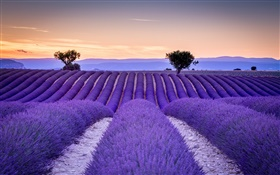 France, Provence, lavender fields, trees, purple style