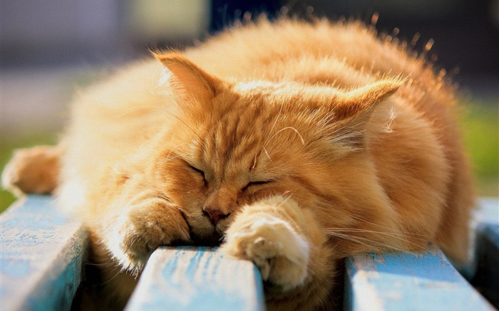 Furry cat in sleeping Wallpapers Pictures Photos Images