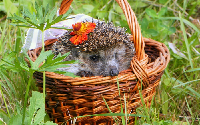 Hedgehog in the basket, needles Wallpapers Pictures Photos Images