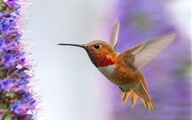 Hummingbird flying, wings HD wallpaper
