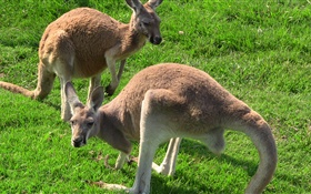 Kangaroos in the grass