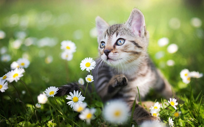 Kitten in the white wildflowers Wallpapers Pictures Photos Images