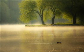 Morning, fog, trees, river, duck