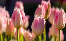 Pink tulips, flowers macro photography, spring HD wallpaper