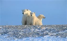 Polar bears, blue sky HD wallpaper