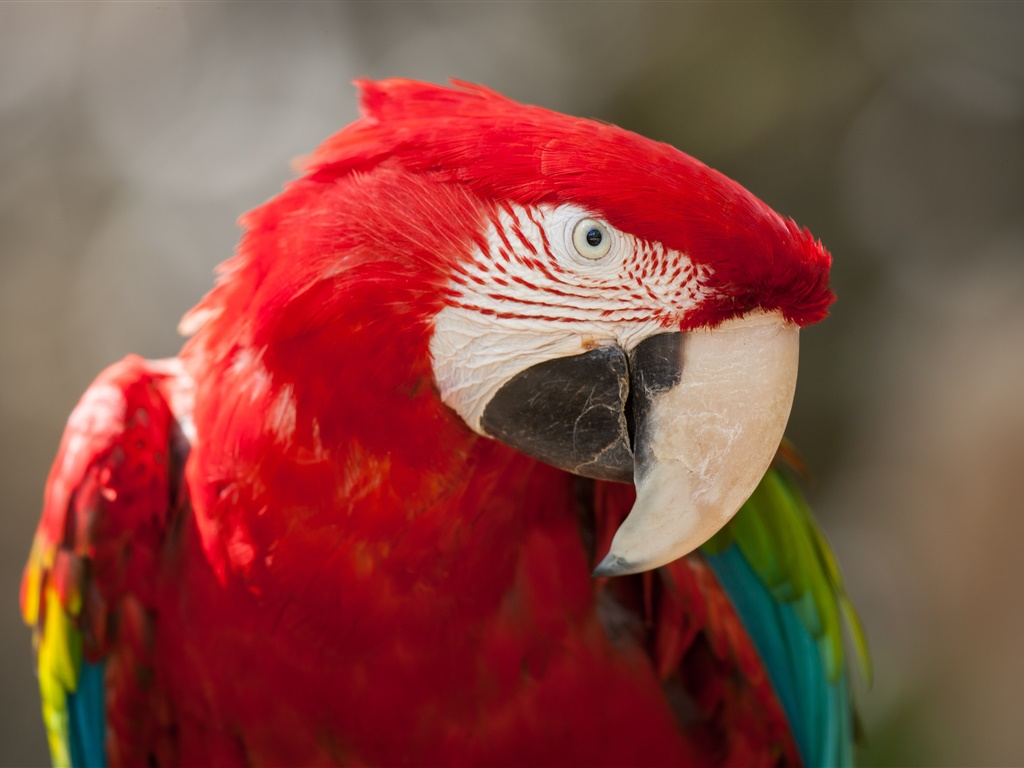 Red feather parrot close-up 1024x768 wallpaper