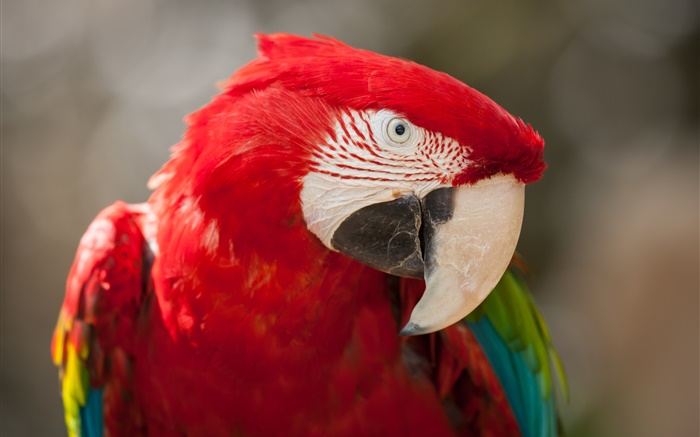 Red feather parrot close-up Wallpapers Pictures Photos Images