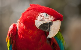 Red feather parrot close-up HD wallpaper