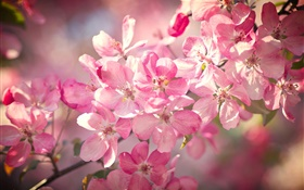 Spring, pink cherry flowers, flowering, twigs