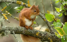 Squirrel, tree, leaves, twigs