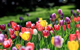 Tulips garden, red yellow purple pink white flowers HD wallpaper