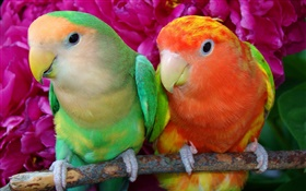 Two colorful feathers parrots