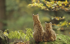 Two lynxes back view