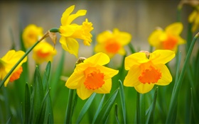 Yellow narcissus flowers, petals HD wallpaper