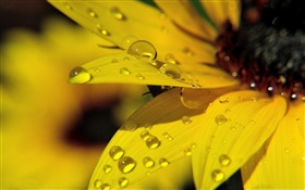 Yellow sunflower petals macro photography, dew HD wallpaper