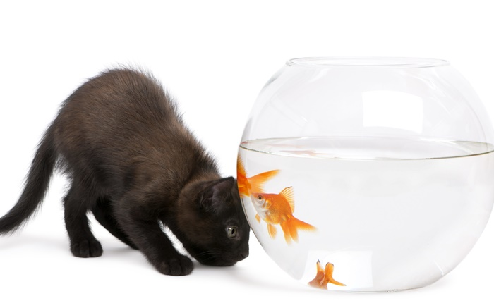 Black cat and goldfish Wallpapers Pictures Photos Images