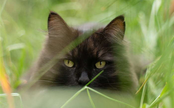 Black cat face, grass, summer, blurry Wallpapers Pictures Photos Images