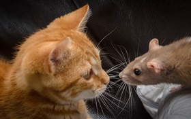 Cat and mouse face to face HD wallpaper