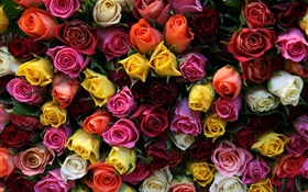 Many rose flowers, different colors HD wallpaper