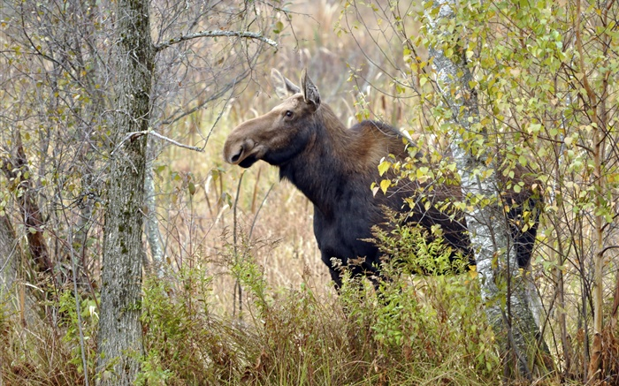 Moose in autumn forest Wallpapers Pictures Photos Images