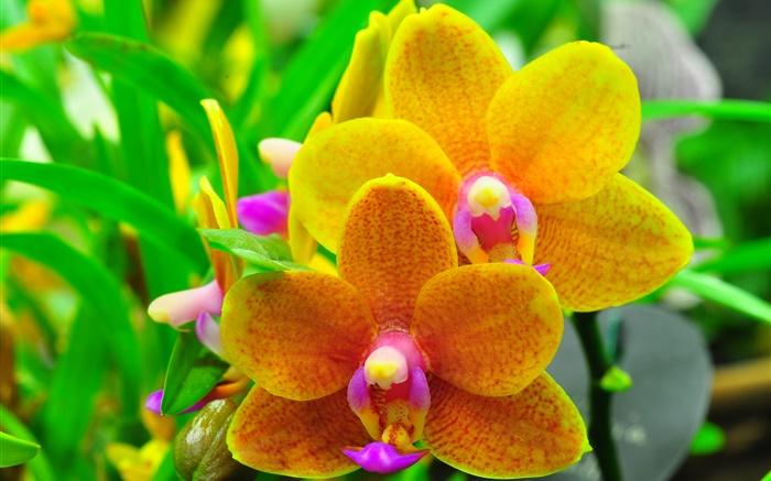 Orange phalaenopsis, orchid, leaves Wallpapers Pictures Photos Images