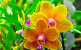 Orange phalaenopsis, orchid, leaves HD wallpaper