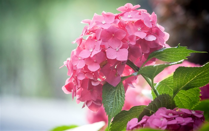 Pink hydrangea flowers, leaves Wallpapers Pictures Photos Images