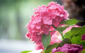 Pink hydrangea flowers, leaves