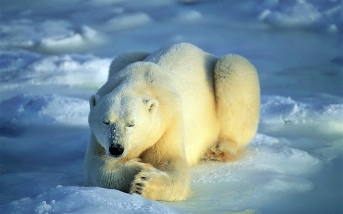 Polar bear in sleeping Wallpapers Pictures Photos Images